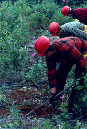 Planting White Spruce
