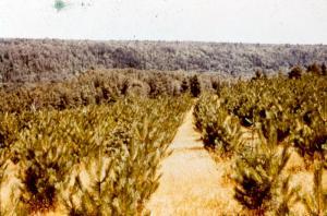 Plantation d'épinette blanche près de la pépinière du Deuxième-Sault