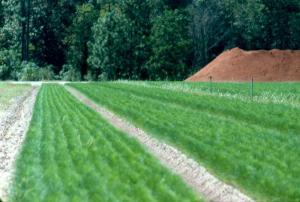Plants d'épinette blanche dans des clayettes à l'extérieur