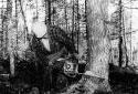 La coupe d'un arbre avec une scie à chaîne