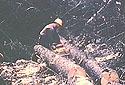 Coupe de bois avec une scie à chaîne